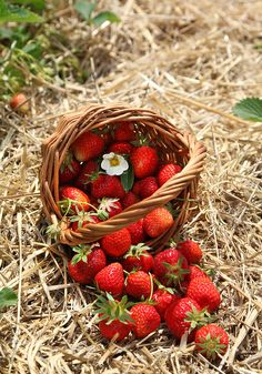 Strawberries in a basket in the strawberry field | Flickr - Photo Sharing!