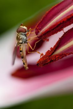Hoverfly and Lily by catherineb2010