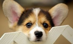 Most Popular Dogs Across America- I am kinda disappointed in this list as my Papillion is not on there... hmmmmmmmmm not good .......they are great dogs and really smart....not to mention very cute. Oh well enjoy the article and see if your dog is on there!