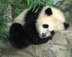 Smithsonian National Zoo: June 2014. Baby panda Bao Bao napping bliss (panda cam captured image)