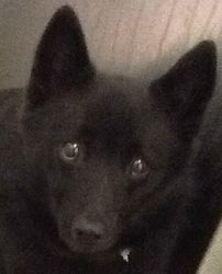 Petfinder Adoptable Dog | Schipperke | Dublin, OH | Nook #Schipperke http://dogtrainingvideosonline.info