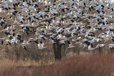 Snow Geese, Bosque del Apache National Wildlife Refuge, NM