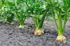 Growing Plants, Parsley, Celery, Indoor Plants, Diy And Crafts, Health Fitness, Gardening, Vegetables, Plants