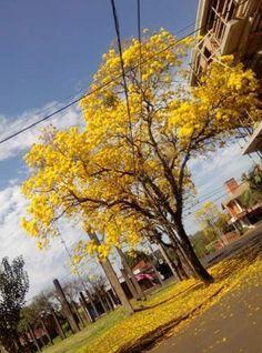 Lapacho amarillo en unas plaza de Asunción