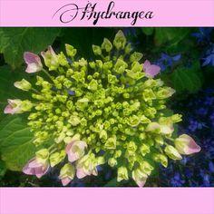 Een van mijn mooiste planten in de tuin      Hortensia - Hydrangea