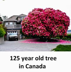 Amazing Year Old Rhododendron Tree in Ladysmith, British Columbia, Canada Rhododendron, L Eucalyptus, Baobab Tree, Unique Trees, Growing Tree, Plantation, Great Barrier Reef, Flowering Trees, Wisteria