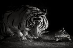 Tiger by Valentijn  Tempels on 500px