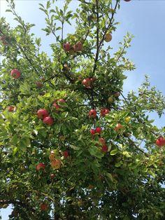 Apple, Fruit, Food, Pictures, Apple Fruit, Essen, Meals, Yemek, Apples