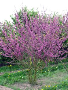 Cercis siliquastrum - Perfect for wind swept coastal sites Flowering Shrubs, Trees And Shrubs, Trees To Plant, Back Gardens, Small Gardens, Garden Trees, Garden Plants, Spring Blooming Trees, Judas Tree