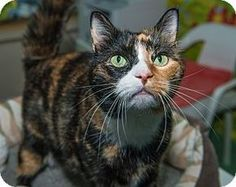 New York, NY - Calico. Meet Ruby, a cat for adoption. http://www.adoptapet.com/pet/10261857-new-york-new-york-cat