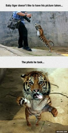 Little tiger doesn't like to be photographed!
