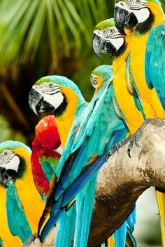 Row of macaws