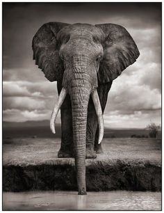 Elephant drinking by Nick Brandt