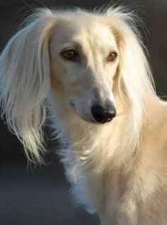 Loyal and regal... the Saluki! I raised Salukis while living in California. This one looks exactly like my Mokee.