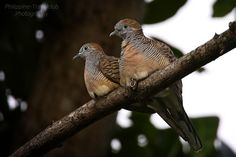 zebra dove couple 3