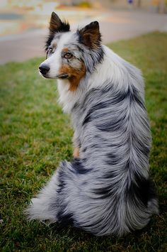 Either a Blue Merle Australian Shepherd or a Blue Merle Border Collie. Beautiful dog either way. Beautiful Dogs, Animals Beautiful, Cute Animals, Cute Puppies, Cute Dogs, Dogs And Puppies, Aussie Puppies, Perros Border Collie, Border Collies