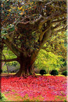 Mississippi Magnolia Tree (250+ years old)
