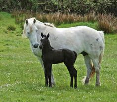Connemara with her foal