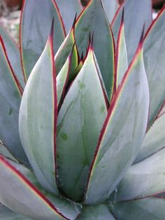 Agave 'Blue Glow'   Gorgeous color and form by SteveSuperGardens