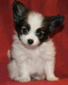 Family Treasured Papillon puppy