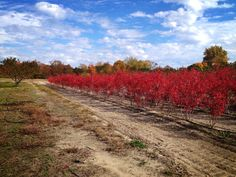 lovely color for fall and winter seasons and delicious blueberries in the summer!    - DiMeo Blueberry Farms & Blueberry Plants Nursery