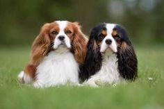 Cavalier King Charles Spaniel Dog Breed Information Spaniel Breeds, Spaniel Puppies, Cute Dogs Breeds, Best Dog Breeds, Irish Setter, Bichon Frise, Rei Charles, Yorkshire Terrier, Pet Care