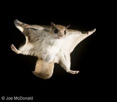 These sweet flying squirrels were in Milford, DE too!