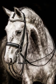 Stu Stunning 7 years old PSG dressage gelding for sale Cute Horses, Pretty Horses, Horse Love, Horse Girl, Beautiful Horses, Animals Beautiful, Horse Photos, Horse Pictures, Dapple Grey Horses