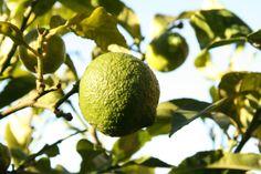 lemon Cape, Lemon, Fruit, Garden, Mantle, Cabo, Garten, Cloak, Gardens