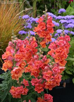 Snapdragon 'Double Azalea Apricot' Antirrhinum majus. Some of my favourite flowers around, they remind me of when I was little in my mum's garden.