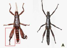 A species is back from the grave, thanks to the hard work of an international conservation effort. The Australian Lord Howe Island stick insect, thought to have become extinct in the 1920s, is now officially alive again, confirmed by DNA testing.