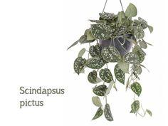 De 7 hipste hangplanten als blikvanger thuis of op kantoor | Storyplanter Plant Leaves, Plants, Plant, Planets