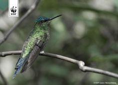 Een kolibrie op een tak in Parque das Aves, Foz do Iguacu, Brazilië.