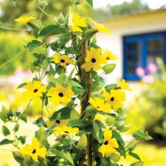 Look at black-eyed Susan vine and you're sure to see how it earned it's common name: http://www.bhg.com/gardening/design/color/yellow-flower-garden-ideas/?socsrc=bhgpin102114blackeyedsusanvine&page=3