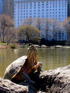 Red-eared slider turtle (Trachemys scripta elegans) in Central Park, New York City - a semiaquatic turtle, subspecies of pond slider is the most popular pet turtle. It is native only to the southern US, but has become established in other places because of pet releases. (Photo-Eddie Crimmins, Creative Commons license)