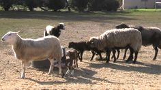 Lamb Babies Playing