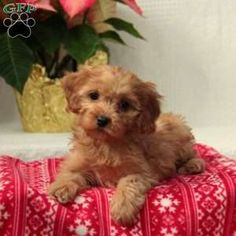 Cavapoo Puppy in Paradise, PA