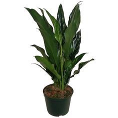 EVERGRACE Aglaonema Maria Plant in 6 in. Grower Pot#aglaonema #evergrace #grower #maria #plant #pot Indoor Flowering Plants, Indoor Trees, Palm Plant, Trees To Plant, Calathea Plant, Pineapple Planting, Birds Of Paradise Plant, Easy Care Plants, Low Light Plants