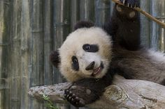 Xiao Liwu by Official San Diego Zoo, via Flickr