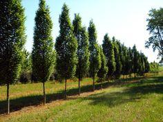 Fastigiate Hornbeam, tall and skinny, nice form tree.