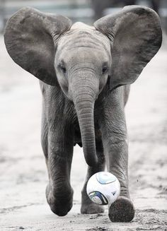 an elephant that plays soccer?!,