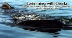 This is on my bucket list -- to swim with whale sharks in Mexico