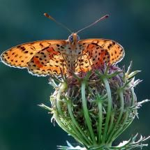 Butterfly on Queen Ann's Lace. Photographer Ivo Pandoli