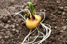 Правильная посадка гладиолусов. Когда и как сажать гладиолусы?  Посадку гладиолусов начинают, когда почва на глубине 10 см прогреется до 8—10 ºС. В средней полосе это происходит обычно в конце апреля. Необходимо четко и вовремя уловить этот момент, так как запаздывание с посадкой ведет к потере влаги почвой, что неблагоприятно скажется на развитии клубнелуковиц и задержит сроки цветения. Фото: © Sally Clifford