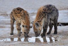 Cute Wild Animals, Animals Beautiful, Animals And Pets, Baby Animals, Funny Animal Memes, Funny Animals, Hyena Man, Brown Hyena, Predator Hunting