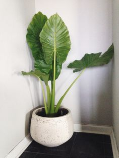 Alocasia Calidora or better known as Elephant Ears is a beautiful indoor plant. Its majesty is spectacular and it will bring life anywhere you place it. Good indirect light is perfect for Alocasia but they are not picky-even when they don't get good amoun House Plants Decor, Plant Decor, Elephant Ear Plant Indoor, Elephant Plant, Alocasia Plant, Pot Plante, Big Leaves, Bathroom Plants, Small Bathroom