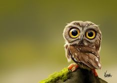 Tiny owl photo by KenRobertHansen In Caricatures