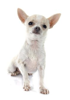 What Is the Rarest Chihuahua Fur Color?