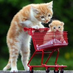Shopping cat