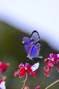 blue butterfly, pink flower
